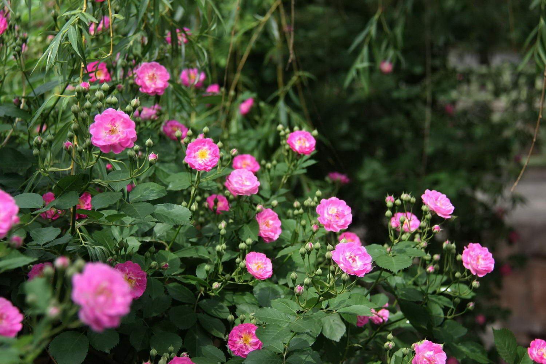 手心的蔷薇和声曲谱