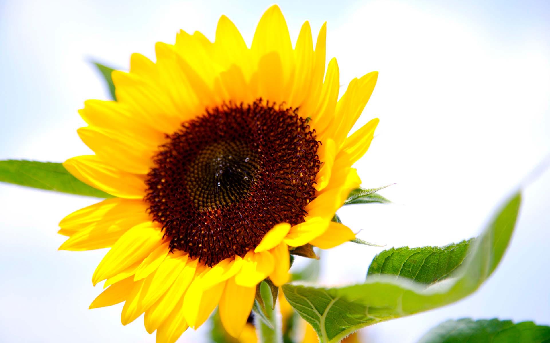 求助向日葵花底图素材求助_红动知道 专业设计网 - 红