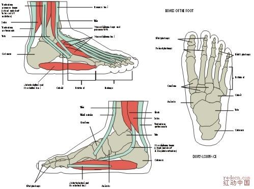 人体骨骼足部矢量图_矢量素材