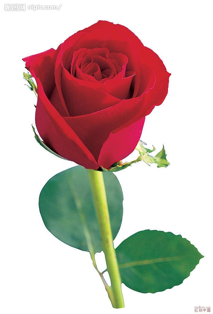 求高精度素材玫瑰花一朵