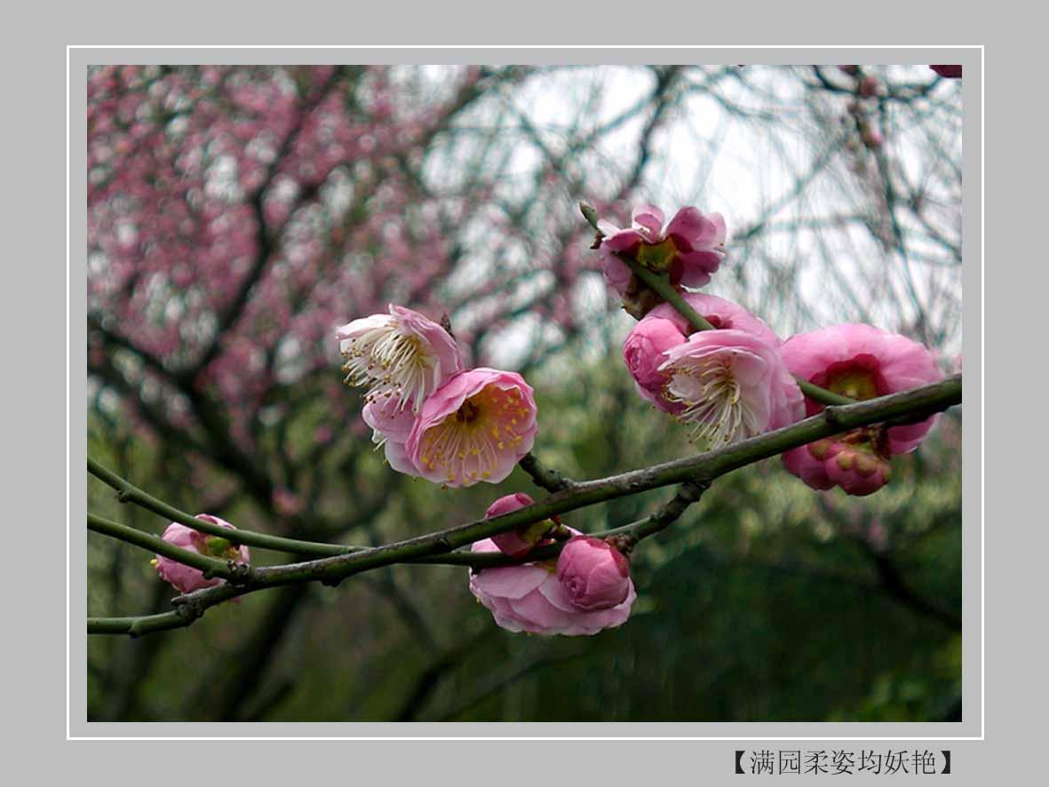 头像 风景 唯美一枝梅花展示