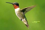 图片标题:漂亮的蜂鸟 关键字:蜂鸟红动中国21.jpg  加入时间:2008-5-29 11:10 加入作者:谊者の翎星
